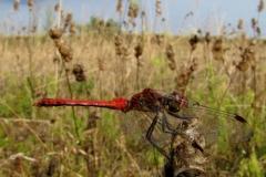Blodrød hedelibel (Sympetrum sanguineum) - Kropslængde 33-39 mm - Han set på diget i august