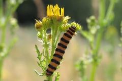 Plantagen - juli - larve på Eng-brandbæger. Planten er giftig, men larven tåler den, og optager den i sin krop. Både larve og senere den voksne sommerfugl er derfor giftige.