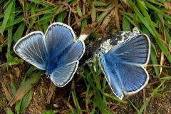 Plantagen - juni - hanner suger mineraler på en lort (jo friskere, jo bedre!)