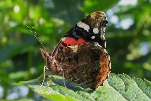 Kan sommerfugle høre?