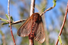 1/5 Flyvefærdig sommerfugl klækket fra puppe fundet i Lyng på diget