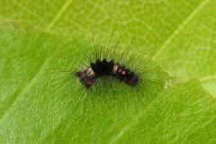 8. maj - larve 8 dage gammel 3-4 mm - bliver fodret med friske bøgeblade
