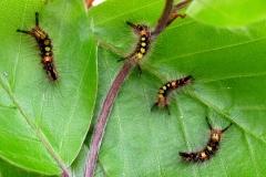 16. maj - larver 16 dage gamle ca. 1 cm - fodres fortsat med bøgeblade
