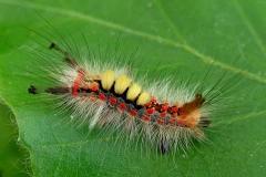 20. maj - larve 20 dage gammel ca. 1,5 cm - prangende farver