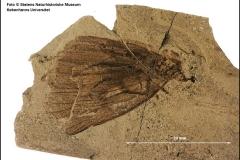 Verdens ældste fossil af en dagsommerfugl har fået navnet Protocoeliades kristenseni, efter afdøde entomolog Niels Peder Kristensen fra Zoologisk Museum i Kbh. Opbevares i Danekræsamlingen på Statens Naturhistoriske Museum