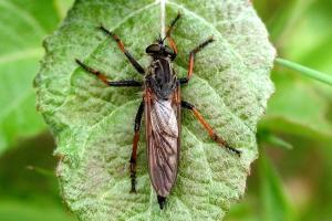Fluer og  Myg  (Tovingede)
