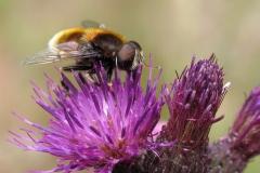 Håret dyndflue (Eristalis intricaria) - Set i plantagen i juni på Tidsel