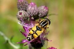 Trebåndet sumpsvirreflue (Helophilus trivittatus) - Set i plantagen i juni på Tidsel