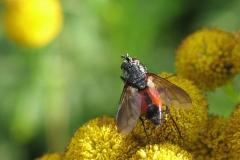 Rød snylteflue (Eriothrix rufomaculatus) - Set på diget i august på Rejnfan