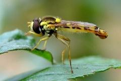 Almindelig kuglebærerflue (Sphaerophoria scripta) - set ved sommerhus i augsut