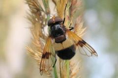 Hvidbåndet humlesvirreflue (Volucella pellucens) - Set i plantagen i august