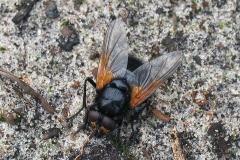 Gulvinget flue (Mesembrina meridiana) - Set i plantagen i september