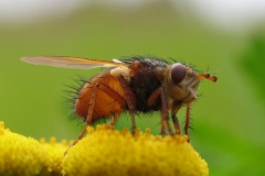Mellemfluen Oscar (Tachina fera) - Set på diget i august på Rejnfan