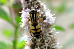 Almindelig sumpsvirreflue (Helophilus pendulus) - Set ved sommerhus i august på Mynte