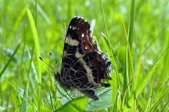 Plantagen - juli - sommerfarve (form prorsa)