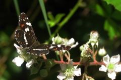 Plantagen - juli - sommerfarve (form prorsa) på Brombær