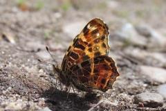 Plantagen - maj - forårsfarve (form levana) suger mineraler og salte på fugtig jord (kun hanner)