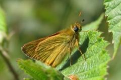 Stor bredpande - Bredpandefamilien, som er verdens hurtigste sommerfugle