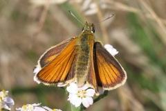 Stregbredpande -  Bredpandefamilien, som er verdens hurtigste sommerfugle