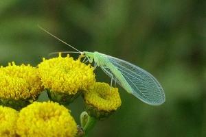 Øvrige insekter (Netvinger m.m.)