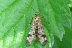 Almindelig skorpionflue (Panorpa communis) - Set i plantagen i september