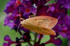 Ved sommerhus - august - på Sommerfuglebusk