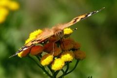 Diget - Tidselsommerfugl  - på Rejnfan og nærmest face-to-face