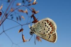 Diget - Argusblåfugl  - han mod fuld blå himmel