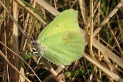 Ikke alle arter solbader med udslåede vinger - f.eks. Citronsommerfugl gør ikke