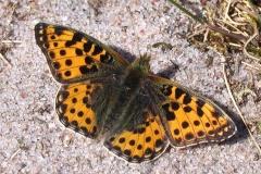 Storplettet perlemorsommerfugl solbader i sandet på diget