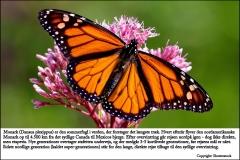 Monark står for verdens længste trækrute