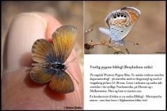 Vestlig pygmæ blåfugl er  måske verdens mindste dagsommerfugl