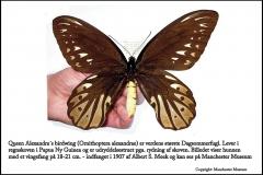 Queen Alexandra´s birdwing er verdens største sommerfugl med et vingefang på op til 21 cm