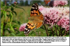 Tidselsommerfugl er verdens mest udbredte sommerfugl