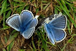 Hvad spiser sommerfuglen?