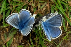 Isblåfugl -  hanner suger mineraler på en lort (jo friskere, jo bedre!)