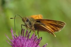 Stor bredpande på tidsel - suger nektar, som er sommfuglenes hovedernæringskilde