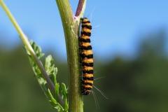 Larven af Blodplet lever på den giftige plante Eng-brandbæger. Men larven tåler giften og optager den i sin krop og bevarer den i voksenstadiet
