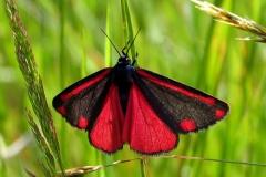 Blodplet signaleret med sin røde farve, at den er giftig - en egenskab der stammer fra larvestadiet