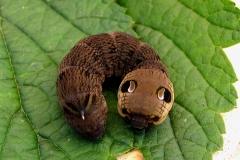 """Dueurtsværmerens larve ligner et farligt uhyre med de to falske """"øjne"""""""
