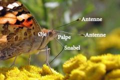 Tidselsommerfugl - suger nektar