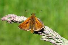 Mange hanner har duftskæl på vingerne, som tit ses som sorte områder på forvingerne. Skællene producerer duftstoffer (feromoner) for at tiltrække hunner. Her på Stor bredpande - ses som korte striber