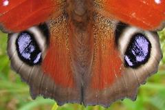 Vingerne af Dagpåfugleøje. Vingernes farver og mønster tjener først og fremmest formålene, at virke tiltrækkende på partner og afskrækkende eller kamuflerende overfor fjender. Derudover har sommerfugle med mørke farver den fordel, at de bliver hurtigere varme, når de solbader