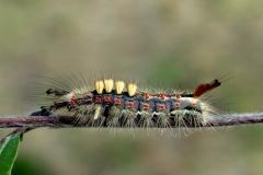 Stor larve af Lille penselspinder kort før puppe-stadiet