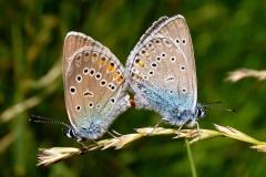 Isblåfugl - parring - hun til venstre