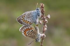 Argusblåfugl - parring - nun nederst