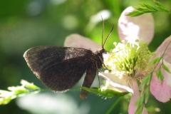 Plantagen - juni - på Brombær