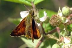 Plantagen - juli - hun (ingen skråstribe på forvingen) på Brombær