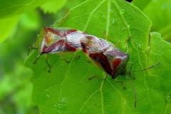 Almindelig løvtæge (Elasmostethus interstinctus) - Par set  i plantagen i maj