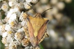 Glat bredtæge (Carpocoris fuscispinus) - På diget i august. på Alm. røllike - sjælden for landet